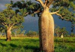 """世界上储水量最大的树,堪称""""沙漠水塔"""""""