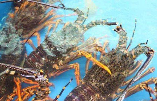 世界上最大的龙虾有多大?超大锦绣龙虾1.4米