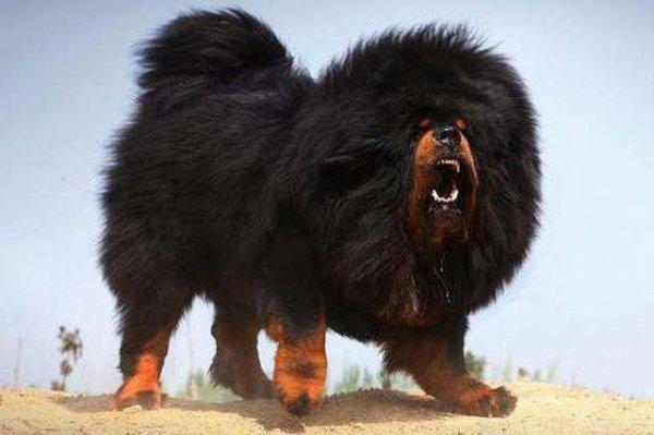 世界上最大的狗排名前十的狗,中国藏獒第一名