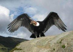 现存世界上最大的飞禽,安第斯神鹫体长130厘米