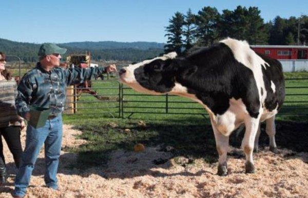 吉尼斯世界上最大的奶牛,高1.9米重1吨