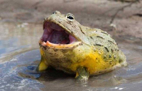 世界第二大蛙类,非洲牛蛙仅次于喀麦隆巨蛙