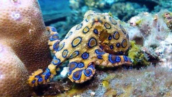 世界上最毒的章鱼,蓝环章鱼奇毒无比