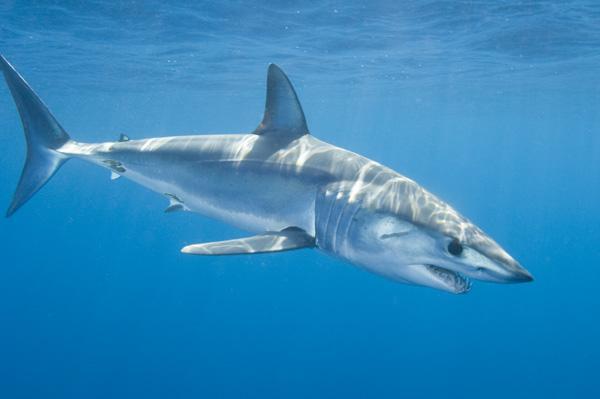 世界上速度最快的鲨鱼,尖吻鲭鲨每时56公里