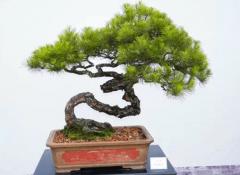 中国盆景艺术五大流派,岭南派位居五派之首