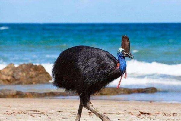 世界上最危险的鸟类,鹤鸵能一击致命