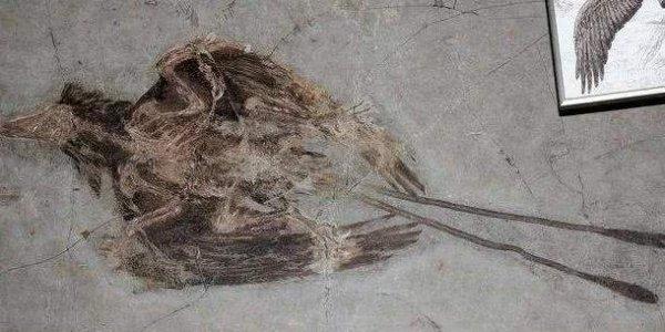 世界上保存最完整的古鸟,距今已有1亿年!