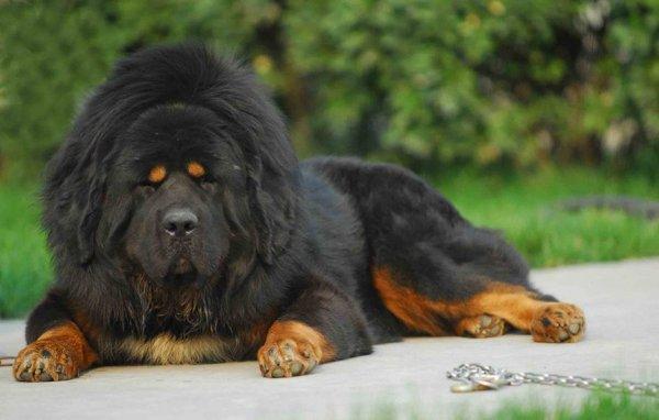 世界上寿命最长的狗,藏獒寿命最高平均为20年