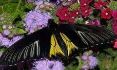世界上最恐怖的蝴蝶:虎斑纹吃肉蝶