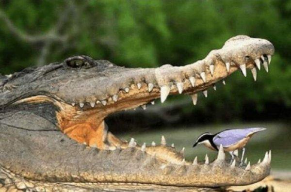 世界上最勇敢的鸟,牙签鸟从鳄鱼嘴里夺食