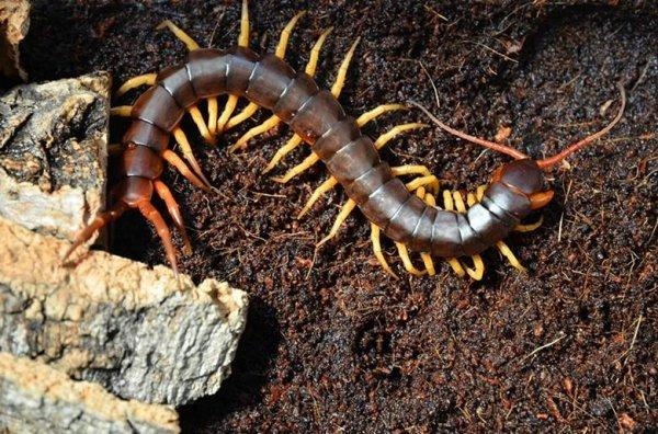 亚洲最大的蜈蚣,越南巨人蜈蚣体长达30cm