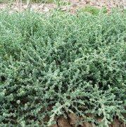 世界上最耐旱的种子植物 沙那菜瓜无水8年不死