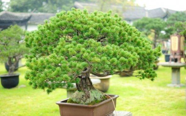 中国十大盆景名贵树种,你知道几种?