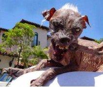 世界上最丑的狗排名,丑鬼山姆排第一名