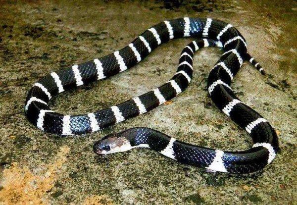 中国十大毒蛇排行榜,银环蛇毒性最强
