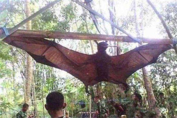 世界上最大的蝙蝠,马来大狐蝠翼展超两米