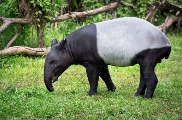 世界上最大的貘类动物,马来貘被称为五不像
