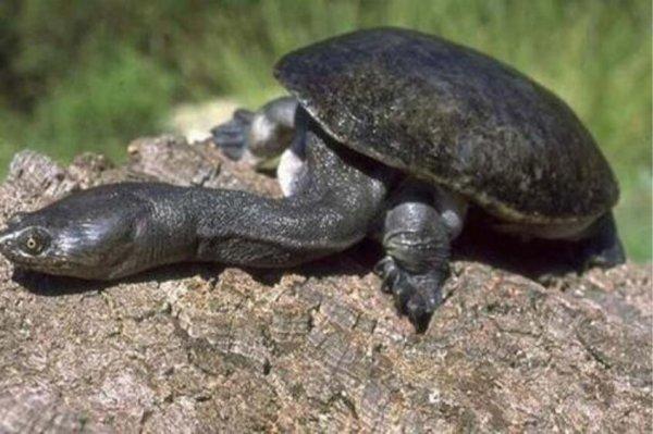 世界上脖子最长的乌龟,巨蛇颈龟脖子长达50CM