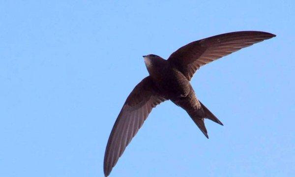 世界上飞得最快的鸟,尖尾雨燕每时352.5千米