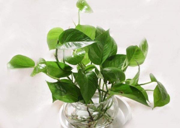 水培植物有哪些?推荐十大室内水培植物