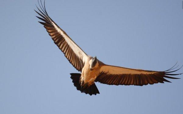 世界十大飞的最高的鸟,黑白兀鹫排第一名