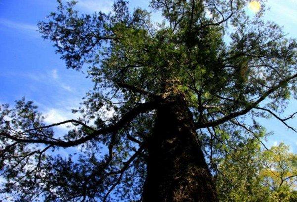 世界上最稀有的树,普陀鹅耳枥仅剩一颗