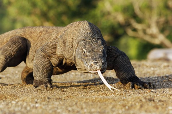 印尼科摩多岛的巨龙之谜,科摩多龙是蜥蜴