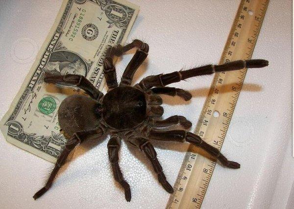 世界上最大的蜘蛛,格莱斯捕鸟蛛体长10厘米