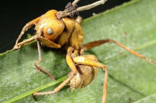 世界上最古老的蚂蚁,4800万年前被真菌感染致死