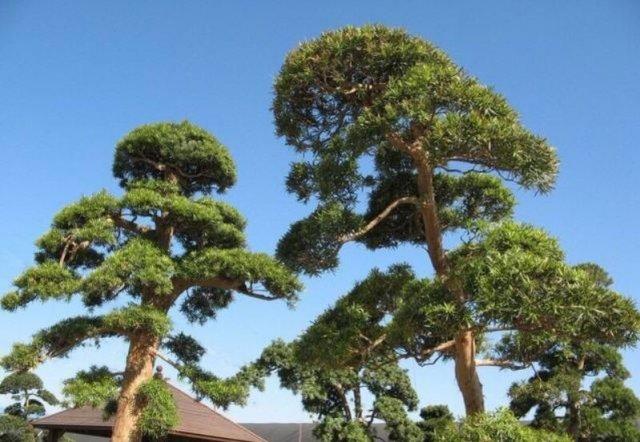 世界上最不怕火的树,非洲的灭火树