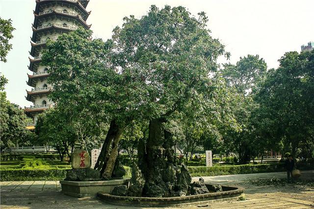 世界上最老的荔枝树,已经有1200多岁高龄