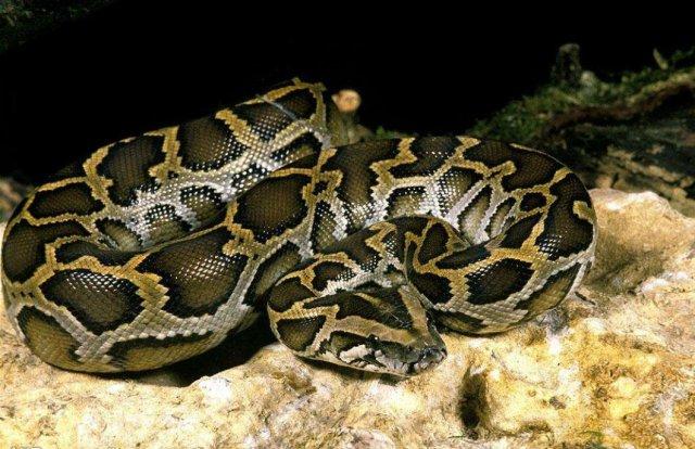 世界第一巨蟒:网纹蟒蛇重1吨/长10米