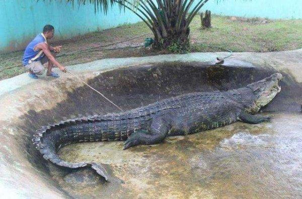 世界上最大的鳄鱼,巨鳄洛龙体长6.4米