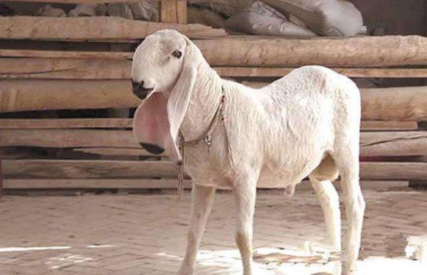 2020世界上四大最贵的羊 刀郎羊最贵一只1400万