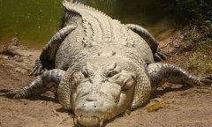 地球上最大的鳄鱼排名前十,第一名长7米重2吨