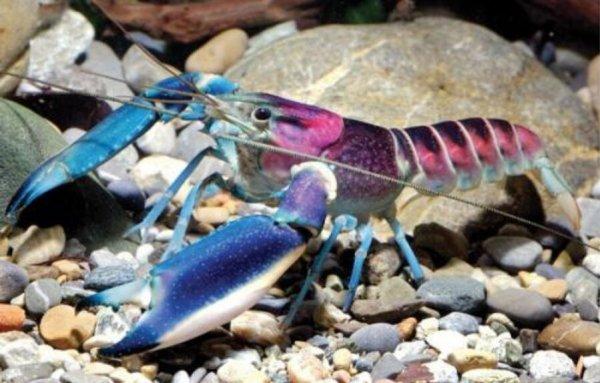 世界上最美龙虾,七彩银河系小龙虾摘得桂冠