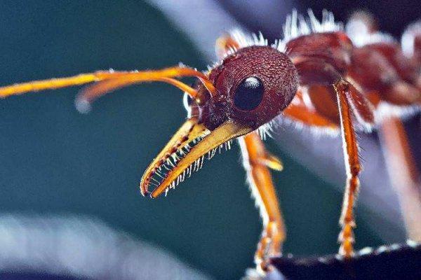 世界上最大的蚂蚁 公牛蚁堪称巨无霸