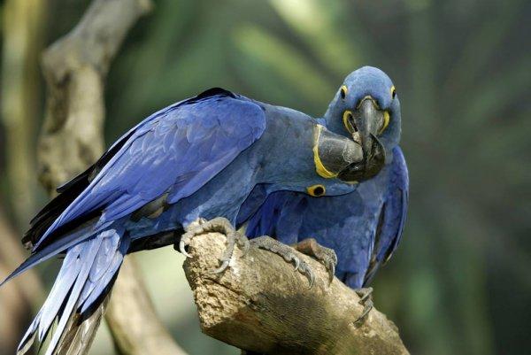 世界上体型最大的鹦鹉,第一名体长达到1米