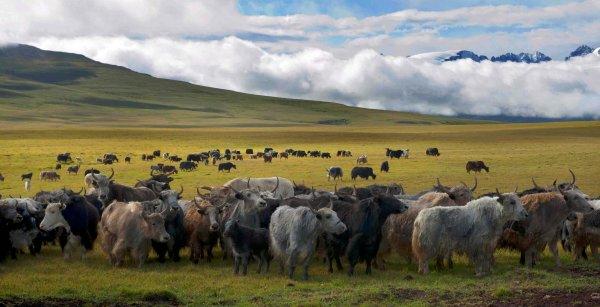 世界上海拔最高的哺乳动物—牦牛