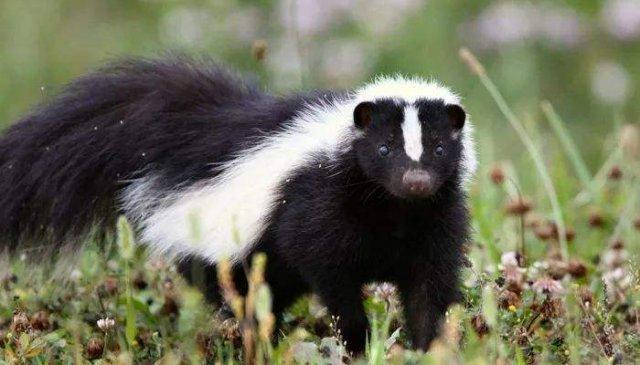 世界上10大最臭动物排名 臭鼬当之无愧第一名