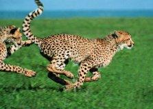 世界十大奔跑速度最快的动物排名 猎豹荣获冠军