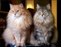 世界十大最温顺的猫排名,你想养哪只?