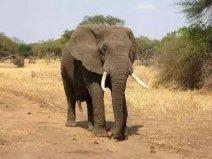 世界十大最危险的动物,非洲象排第一名