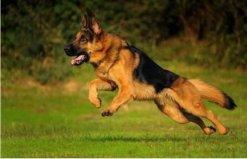 世界十大警犬品种排名,德国牧羊犬居榜首