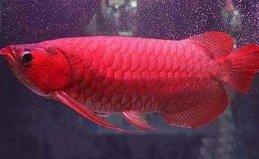 世界十大最贵观赏鱼排名,第一名高达409万