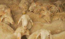 中国十大名羊品种排行,和田羊摘得桂冠