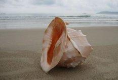 世界上最大的海螺,唐冠螺体长达30cm