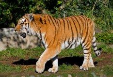 世界上最大的老虎,雄性东北虎体长达3米