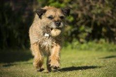 最容易训练的六大犬种,蝴蝶犬位列榜单第三