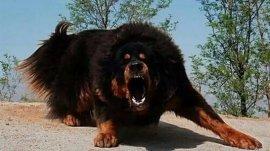 世界十大最凶猛最凶狠的狗,藏獒列居榜首